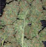 Treeology Genetics Treasure Eyeland