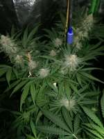 00 Seeds Bank Chocolate Skunk - foto de horakio