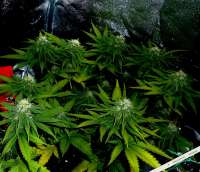 Big Buddha Seeds Cheese - foto de admin