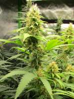 Bodhi Seeds Soul Mate - foto de Grower13