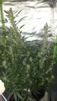 Bulk Seed Bank Auto Chronical - foto de GermanGrowCologne
