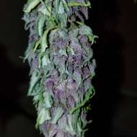Clone Only Strains Las Vegas Purple Kush - foto de wm420