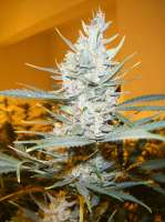 Cream of the Crop Seeds Amphetamine - foto de SeedMan91