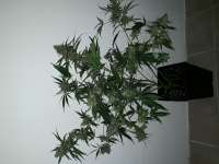 Pic for Cannalope Haze (DNA Genetics Seeds)