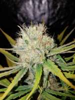 DNA Genetics Seeds Chocolope - foto de Chillskill