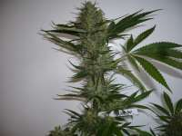 Dinafem Blue Widow - foto de merlin