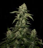 Female Seeds White Widow x Big Bud - foto de flashgordon