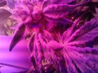 Grand Daddy Purp Candyland - foto de crimo