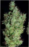 Green House Seeds Himalaya Gold - foto de SativaFred