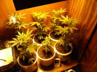 Green House Seeds White Widow - foto de MrGrowAustria