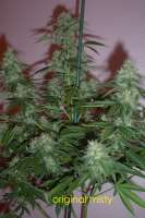 Homegrown Fantaseeds Original Misty - foto de mrhand