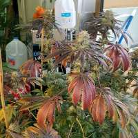 Humboldt Seed Organisation Blueberry Headband - foto de Nicktler