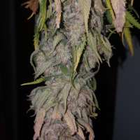 Pic for Pineapple Skunk (Humboldt Seed Organisation)