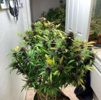 Inland Valley Genetics Melba - foto de InlandValleyGenetics