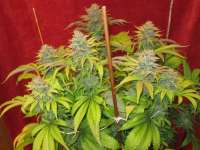 LEDSeedz Bodhi Tree - foto de Grower13