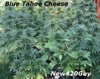 Imagen de New420Guy (Blue Tahoe Cheese)