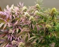 New420Guy Seeds Pauls Crystal Aurora Auto - foto de new420guy
