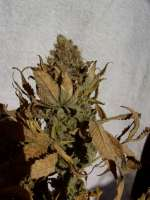 Paradise Seeds Dutch Dragon - foto de mrnicex