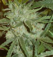 Imagen de Dixon23 (Moonshine Haze x Ghost Train Haze 1)