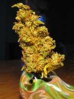 Resin Seeds Yummy - foto de levelnext