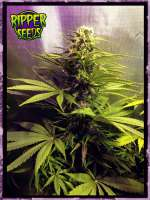 Ripper Seeds Hawaiian Wave - foto de RSeeds