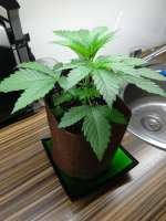 Royal Queen Seeds Euphoria - foto de randomgardner