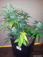 Royal Queen Seeds Royal AK Automatic - foto de Cookiehunter619