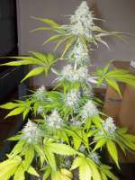 Royal Queen Seeds Sour Diesel - foto de WhiteyB
