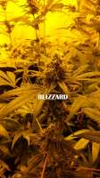 Seedmakers Seeds Blizzard - foto de admin