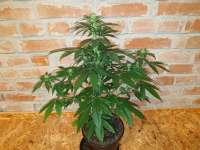 Sensi Seeds Maple Leaf Indica - foto de arizn