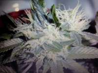 Serious Seeds Chronic - foto de x4opiate