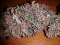 Smoke A Lot Seeds Purple Rain - foto de pieyees