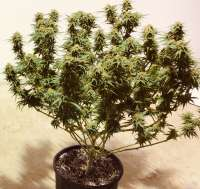 SnowHigh Seeds Grape Krush F3 - foto de BOBNTRISH