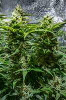 Spliff Seeds Dutch Automatic - foto de cogolloeu