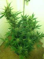 Imagen de WebsterJr (Black Cream Auto)