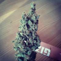 Sweet Seeds Black Jack F1 Fast Version - foto de optimystisch