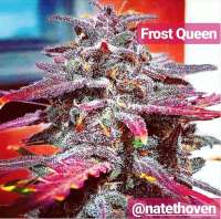 The Bakery Genetics Frost Queen - foto de TheBakeryGenetics