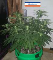 Third Eye Genetics Afterburner - foto de triceratopsgardens