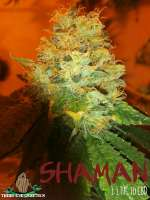 Third Eye Genetics Shaman - foto de ThirdEyeGenetics