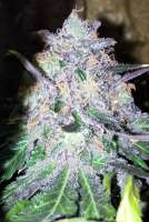 Unknown or Legendary Lapis Mountain Indica - foto de mojavegreen