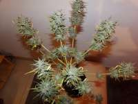 World of Seeds Bank Domina Star - foto de hemp47